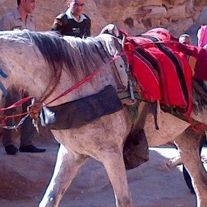 1-White-horse-for-hire-for-walk-into-Petra1